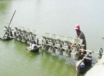 Long An shrimp breeders disappointed by shrimp losses