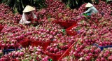 Mekong Delta city expects to increase fruit exports