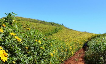 Wild sunflower festival on way in Gia Lai province