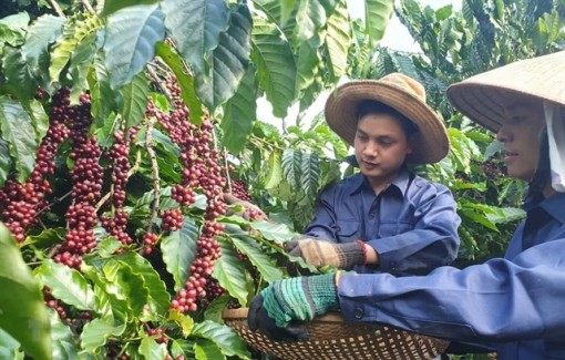 Vietnam to manage coffee quality through new database