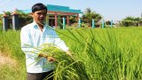 Nang Thơm Cho Dao rice is ready to be harvested
