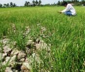Restoring crop areas after drought and saline intrusion